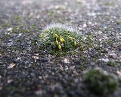 Tiny Moss (clhxine) Tags: seattle macro moss proxar utatafeature
