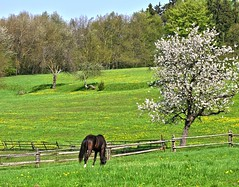 For dreamers! (Linda6769) Tags: horse flower tree animal fence germany wooden spring weed village blossom meadow thuringia dandelion eat woodenfence bloom blume wildflower zaun blte pferd blooming taraxacum lwenzahn bloomingtree wildblume hildburghausen blhend yellowwildflower holzzaun blhenderbaum