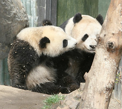 A kiss for mama (kjdrill) Tags: california bear usa baby playing giant zoo cub panda sandiego wrestling mother fv10 baiyun offspring pandas endangeredspecies sdzoo sulin colorphotoaward