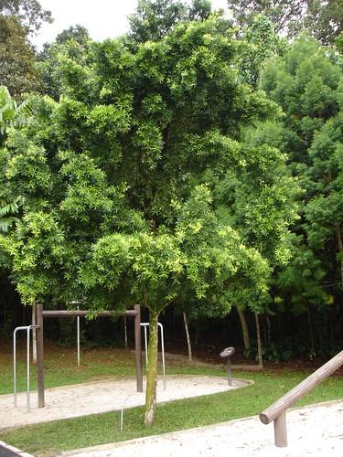 Podocarpus polystachyus