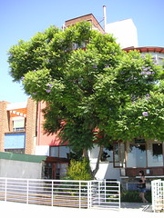 Jacaranda Tree (blmurch) Tags: chile trees tree valparaiso jacaranda pabloneruda jacarandatree lasebastiana nerudashouse nerudasplace