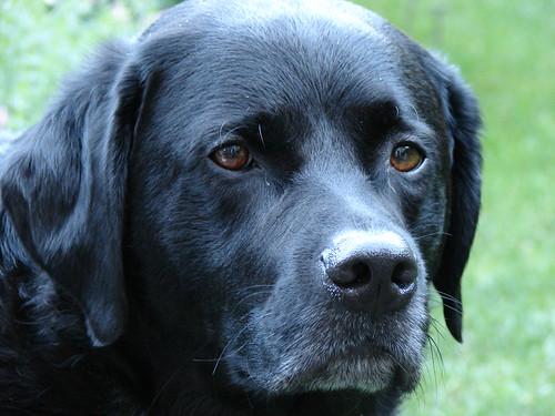 Labrador Retriever Watching
