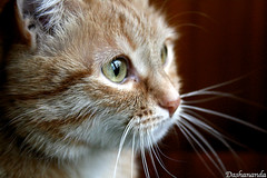 Dreamer (Dasha Gaian) Tags: cat whiskers greeneyes animalportrait murka bestofcats