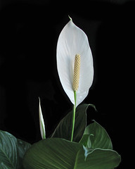 """Spathiphyllum or """"Peace Lily"""" (myruby) Tags: white plant black flower green leaves composition garden painting peace lily arrangement spathiphyllum tepasaste"""