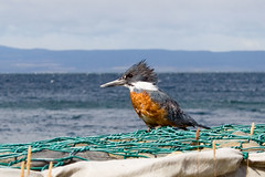 Don Martn, el pescador (SergioRT) Tags: chile bird animal 350d grande ave kingfisher ringed pescador magallanes martn ringedkingfisher torquata ceryle ceryletorquatus ceryletorquata 50club roverde martnpescadorgrande