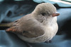 Lucky little bird (Greg Miles) Tags: australia nsw naturesfinest mtwhite goldenwhistler pachycephalapectoralis abigfave impressedbeauty brisbanebirds abcopen:project=upclose gregmiles