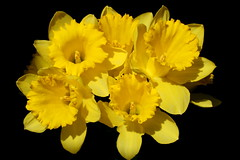 daffodils blackground - by Muffet