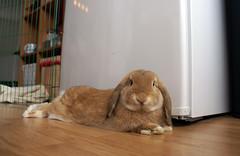 Pretty boy (Sjaek) Tags: cute bunny fridge sweet adorable fluffy boef