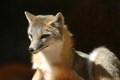 Attentive Grey Fox