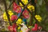 Japanese Red & White Ume (Apricot) in Harajuku / 原宿の紅白梅 (ichico) Tags: japan tokyo harajuku 日本 東京 japaneseapricot 原宿 kuniomonjicom 門司邦雄 紅白梅 redwhiteume