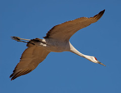 Crane Flight Diagonal (Fort Photo) Tags: newmexico bird nature birds animal bravo crane wildlife birding flight diagonal ave nm ornithology bosquedelapache avian 2007 sandhillcrane bif birdinflight naturesfinest gruscanadensis gruiformes parkstock splendiferous 50faves featheryfriday outstandingshots specnature specanimal animalkingdomelite abigfave anawesomeshot colorphotoaward avianexcellence flickrdiamond