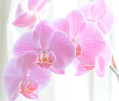 pink orchid (-liyen-) Tags: pink orchid flower d50 nikond50 highkey 50mm18 challengeyouwinner