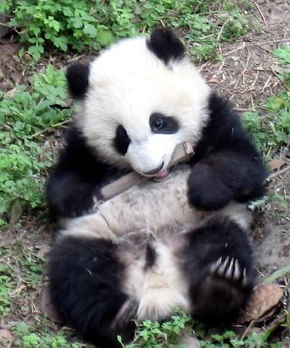 Panda bite - photo#1