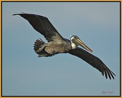 Pelican Wings (Momba (Trish)) Tags: bird birds ilovenature wings nikon bravo florida pelican nikkor brownpelican okeechobee momba naturesfinest pelecanusoccidentalis nikond200 interestingness208 i500 nikonstunninggallery specanimal mywinner goldenphotographer avianexcellence diamondclassphotographer flickrdiamond brisbanebirds explore17march2007