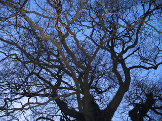 Branches of an Old Oak Tree