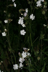 548741018 White_Campion 2007-06-13_19:37:53 Cothill
