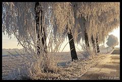 Frosty Morning II - Rauhreifmorgen II (hubert.sigl1) Tags: heiter textur baum pflanze landschaft sonne morgenlicht winter rauhreif weg allee gegenlicht frost avenue backlight trees path hoarfrost landscape morningsun