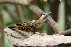 Green-barred Woodpecker (Colaptes melanochloros) (Brendan A Ryan) Tags: greenbarredwoodpecker colaptesmelanochloros