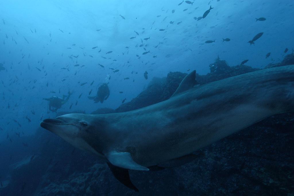 Amazon river dolphin  Wikipedia