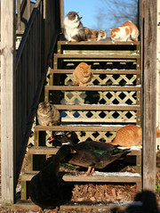 The Welcoming Committee (Boered) Tags: cats puddle lily fuzzy elmo steps ducks binky welcomehome specter puddy fatkitty muscovies kissablekat werestarving