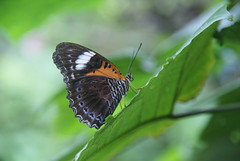 Batik Lacewing (DanielKHC) Tags: butterfly singapore sony insects alpha a100 danielcheong danielkhc