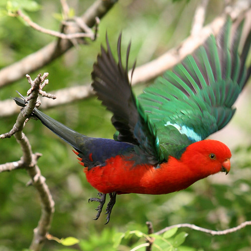 flying animals of australian parrot habitat