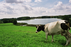 Cow on meadow (Pawel Boguslawski) Tags: lake grass cow country meadow poland