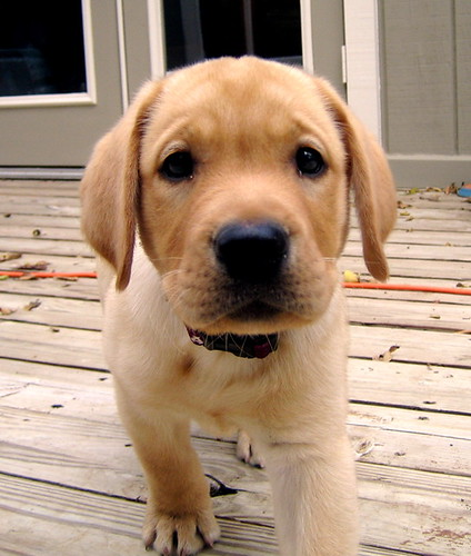 Image Seo All 2 Golden Lab Puppies