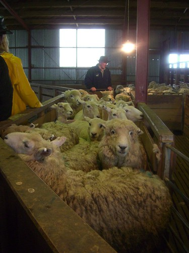 Sheep Being Squashed In