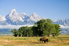 The Straggler (Robby Edwards) Tags: vacation mountains animal fog nationalpark wildlife wyoming bison grandteton grandtetonnationalpark mormonrow cathedralgroup abigfave anawesomeshot