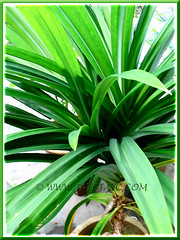 Pandanus amaryllifolius (Fragrant Pandan) with aerial roots, at our backyard - Nov 2006