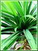 Pandanus amaryllifolius Roxb. (Fragrant Pandan/Screwpine)