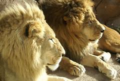 Lindy and Rowdy, son and father (conwest_john) Tags: lions animalplanet bigcats torontozoo jesters animaladdiction animalcraze ultimateanimalphotography sonyalphadslrcameras impressedbeauty flickrfavoriteanimalphotographers lionpanthera conwestjohn