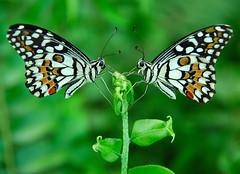 HARMONY (Prabhu B Doss) Tags: india macro green nature closeup butterfly ilovenature twins nikon pattern indian insects symmetry fav dslr animalplanet prabhu helluva nikonian cotcmostinteresting nikondslr incredibleindia d80 specnature 18135mm nikonstunninggallery animalkingdomelite naturesgallery nikond80 worldbest bestnaturetnc06 impressedbeauty specinsect diamondclassphotographer indianphotographers prabhub prabhubdoss ncredibleindia welcometoindia prabhuboomibalagadoss zerommphotography 0mmphotography