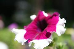Matts Flowers 9 (Robert M. Hoge (AKA - Lasre)) Tags: plant flower color green 20d nature canon ilovenature canon20d petal usm 1855mm 1855 mattsflowers roberthoge lasre bokehwhores robertmhoge