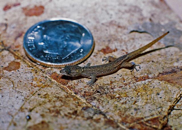 Coleodactylus amazonicus