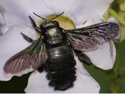 Xylocopa latipes