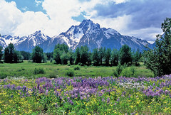 Pilgrim Creek Vista: Grand Teton National Park, Wyoming (WY) (Floyd Muad'Dib) Tags: flowers plants usa mountain plant mountains flower america creek geotagged us nationalpark mt unitedstates united north grand mount vegetation northamerica wildflowers states wyoming mountmoran grandtetons teton tetons northern wildflower moran grandteton americanwest lupine pilgrim wy lupines grandtetonnp grandtetonnationalpark westernusa mtmoran northernwyoming pilgrimcreek wyominglandmark northernwy geotaggedwyoming