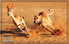 Surviving (Dubai Heart) Tags: dog championship whippet survive gazal faza3 fpg fazaa