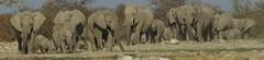 Herd of Elephants (tim ellis) Tags: africa panorama holiday elephant animal namibia herd etosha shongololo mshbest msh0814 mshbest4 msh081415