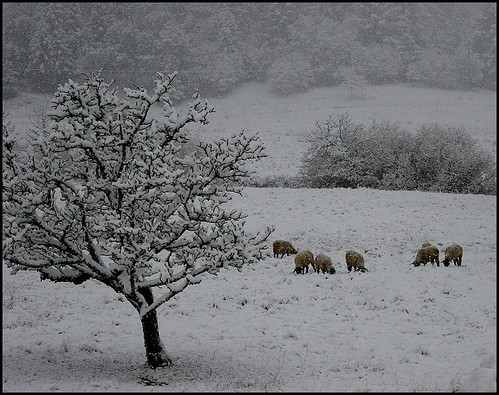 snow and sheep