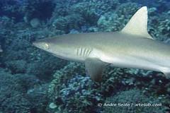 Rongelap - tubarão