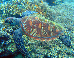 Turtle (Cebu, Philippines) (alfonsator) Tags: island asia turtle philippines scuba diving olympus cebu tortuga isla filipinas buceo underwaterphotography fotosub cebusugbo alfonsator mywinners impressedbeauty fotografiasubmarina philippineislescom earthtouchcom pcp2011