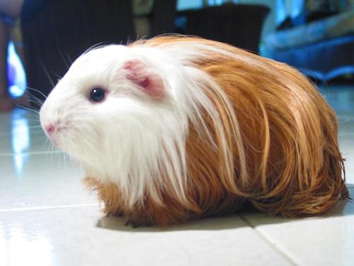 Sheltie guinea pigs - photo#7