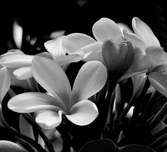 Frangipani Flowers (whoops vision) Tags: flowers bw plant flower tree blackwhite frangipani bud impressedbeauty