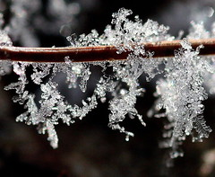 Frost on a pine needle - by Lida Rose