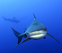 sharklife (Fiona Ayerst) Tags: ocean blue motion beauty animals grey shark big underwater indian teeth scuba bull sharks strength mozambique zambezi impressedbeauty
