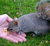 Squirrel eating peanuts (marlenells) Tags: park uk cute london animal topc25 topv111 510fav furry topv555 squirrel europe hand eating peanut furryfriday