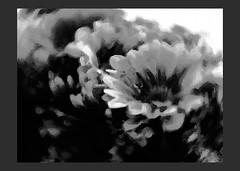 IFowers4paula2-bw-grad (colinpuddephatt) Tags: flowers canon zoom serif