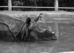Black Rhino (subtle_devices) Tags: bw white black pool animals zoo rhino sandiegozoo blackrhino